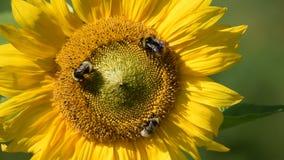 Girasol y abejorros en la granja orgánica, holding pequeño almacen de video