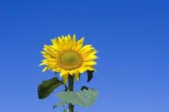Girasol y cielo azul fotos de archivo