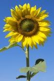 Girasol y cielo azul fotos de archivo libres de regalías