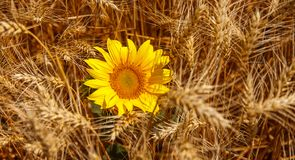 Girasol y grano, con la riqueza de la tierra fotografía de archivo libre de regalías