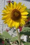 Girasol y jardín Fotografía de archivo libre de regalías