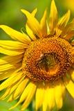 Girasol y la abeja Fotografía de archivo libre de regalías