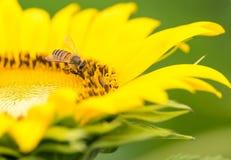Girasol y la abeja Imagen de archivo libre de regalías