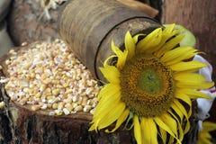 Girasol y maíz Foto de archivo