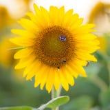 Girasol y mariposa Foto de archivo libre de regalías