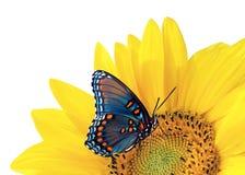 Girasol y mariposa azul Foto de archivo libre de regalías