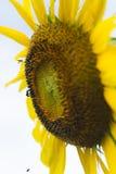 Girasol y pequeñas abejas Fotos de archivo