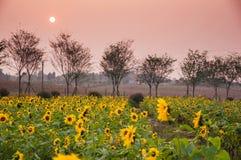 Girasol y puesta del sol Imágenes de archivo libres de regalías