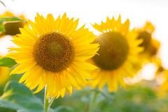 Girasol y sol Foto de archivo libre de regalías