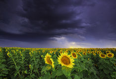 Girasol y tormenta Imagen de archivo