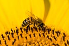 Girasol y una abeja. Imagen de archivo libre de regalías