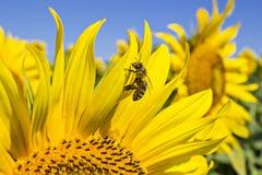 Girasol y una abeja Imágenes de archivo libres de regalías