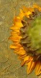 Girasole. Immagine Stock Libera da Diritti