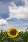 Girasole Fotografie Stock
