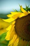 Girasole Fotografia Stock