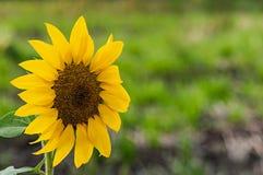 Girasole agricolo su un fondo confuso naturale fotografia stock libera da diritti