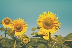 Girasole al fondo del cielo blu, agricoltura agricola dell'olio Fotografia Stock Libera da Diritti