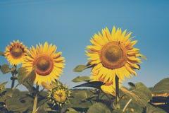 Girasole al fondo del cielo blu, agricoltura agricola dell'olio Immagini Stock Libere da Diritti