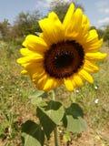 Girasole al sole Immagine Stock
