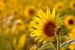 Girasole all'indicatore luminoso dorato del sole Immagini Stock Libere da Diritti