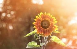 Girasole alto solo al sole su un fondo vago Una struttura orizzontale Fotografia Stock Libera da Diritti