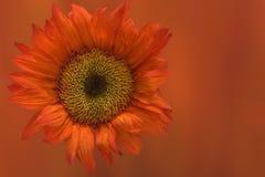 Girasole arancione su priorità bassa arancione Fotografie Stock Libere da Diritti