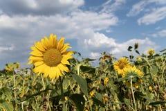 girasole blu del cielo del campo fotografie stock libere da diritti