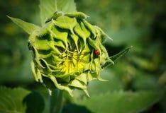 Girasole Bud Growth Stage Helianthus Fotografia Stock Libera da Diritti