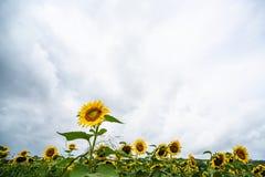 Girasole che fiorisce davanti al giacimento del girasole Fotografia Stock