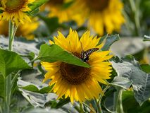Girasole che fiorisce nei campi di estate fotografie stock libere da diritti
