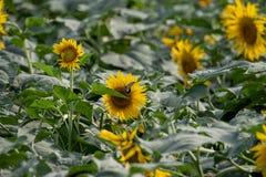 Girasole che fiorisce nei campi di estate immagine stock libera da diritti