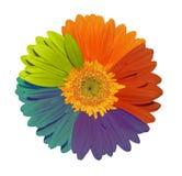 Girasole colorato pieno Fotografia Stock Libera da Diritti