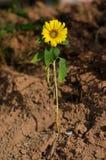 Girasole coltivato nel suolo Fotografia Stock Libera da Diritti