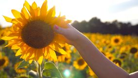 Girasole commovente della mano femminile bello nel campo con il chiarore del sole a fondo Braccio del fiore di giallo di carezza  video d archivio