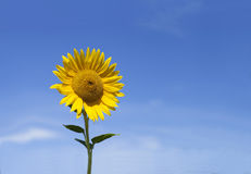 Girasole con cielo blu ed il bello sole Fotografia Stock