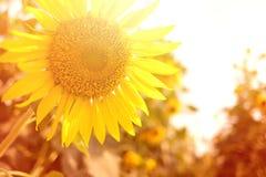 Girasole con effetto di luce solare Fotografie Stock Libere da Diritti