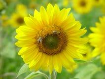 Girasole con gli api Immagine Stock Libera da Diritti