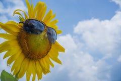 Girasole con gli occhiali da sole Fotografia Stock Libera da Diritti