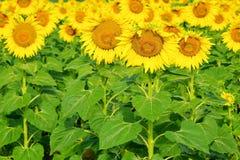 Girasole con i fiori dorato-rayed molto grandi Helianthu giallo immagini stock