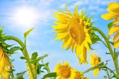 Girasole con i fiori dorato-rayed molto grandi Helianthu giallo immagini stock libere da diritti