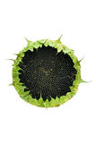Girasole con i semi isolati su un bianco fotografia stock