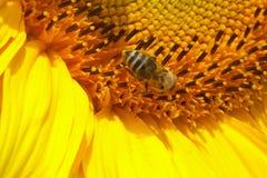 Girasole con l'ape Fotografia Stock Libera da Diritti