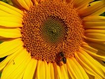 Girasole con l'ape Immagini Stock