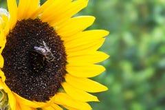 Girasole con l'ape Immagine Stock