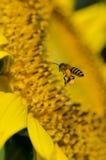 Girasole con l'ape Immagini Stock Libere da Diritti