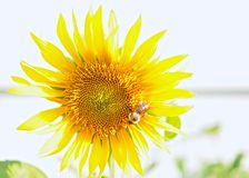 Girasole con l'ape occupata Immagine Stock