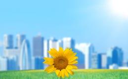 Girasole con paesaggio urbano ed il sole Immagini Stock