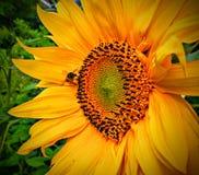 Girasole con un giallo della mosca Fotografia Stock