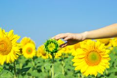 girasole con una mano che raggiunge in avanti per toccarla in un'immagine concettuale della natura, dell'agricoltura e della bell Immagini Stock Libere da Diritti