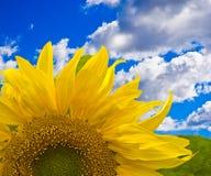 Girasole contro cielo blu Fotografia Stock